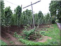 SO6652 : Hop field near Avenbury Court by Oast House Archive