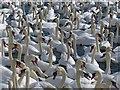 SY5783 : Mute Swans, Abbotsbury Swannery, Dorset : Week 37