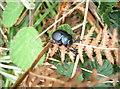 ST5264 : Bloody-nosed beetle by Neil Owen