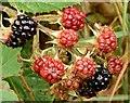J4372 : Blackberries, Comber Greenway - October 2015(2) by Albert Bridge