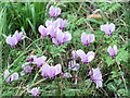 SP9314 : Cyclamen at College Lake, near Tring by Chris Reynolds