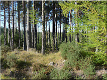 NH6560 : By a boundary in the Millbuie Forest by Julian Paren