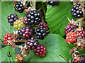 J4078 : Blackberries, Glenlyon, Holywood - October 2015(2) by Albert Bridge