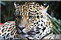 SJ4170 : Spirit of the Jaguar at Chester Zoo by Jeff Buck