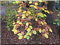 SU9585 : Beech leaves changing colour, Burnham Beeches by David Hawgood