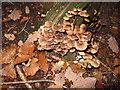 SU9585 : Fungi and autumn leaves, Burnham Beeches by David Hawgood