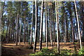 SJ5371 : Tall Pines in Delamere Forest by Jeff Buck