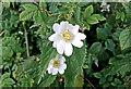 SJ6679 : Hedgerow beauty by Anthony O'Neil