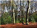 SU6884 : Beech woodland, Stoke Row, Oxfordshire by Oswald Bertram