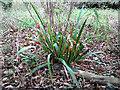 TG3610 : Iris foetidissima (Stinking iris) by Evelyn Simak