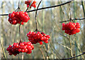 TG3510 : Red berries in Jary's Wood : Week 52