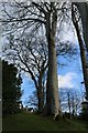 SH8072 : Beech tree on slope at Bodnant Garden by Richard Hoare