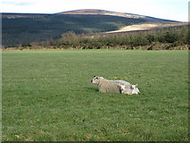 S6538 : Sheep and Twins by kevin higgins