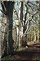 ST7361 : Trees above Combe Hay Lane by Derek Harper