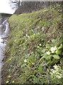 ST5658 : Peaceful primroses by Neil Owen