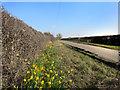 SP6709 : Daffodils in Westfield Road by Des Blenkinsopp