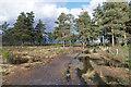 SU9052 : Pine, Richochet Hill by Alan Hunt