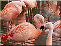 SD4314 : Chilean Flamingos (Phoenicopterus chilensis) by David Dixon