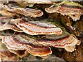 SD7707 : Trametes versicolor, (Turkeytail Fungus) by David Dixon