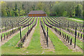 TQ0247 : Chilworth Manor vineyard : Week 18