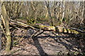 TR1052 : Fallen tree, Denge Wood by N Chadwick