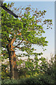 SP8818 : A tree struck by lightning on Alnwick Farm by Chris Reynolds