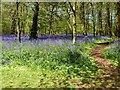 SX0864 : Bluebells on the walk from the car park to the house, Lanhydrock, Bodmin, Cornwall by Derek Voller