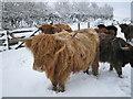 NJ8041 : West Backhill of Lethenty: Highland Cattle by Jonathan Williams