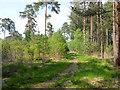 SU9067 : Path, Swinley Forest by Robin Webster