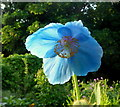 SO6023 : Meconopsis betonicifolia, Himalayan poppy by Jonathan Billinger