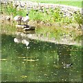 SJ9493 : Wildfowl on Pole Bank Pond by Gerald England