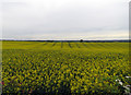 SK6619 : Field of rape east of Hoby Road by Andrew Tatlow