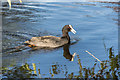 TQ3092 : Coot on Lake, Broomfield Park, London N13 by Christine Matthews