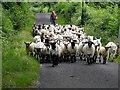 H2873 : Shepherding sheep, Prughlish : Week 28