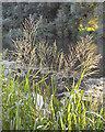 SP2964 : Reed Sweet-grass flowering by the River Avon, Myton Fields, Warwick by Robin Stott