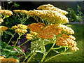SO6023 : Achillea millefolium 'Terracotta', 1 by Jonathan Billinger