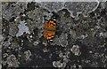 TM4997 : Somerleyton Hall: Painted Lady butterfly in the Sunken White Garden : Week 31