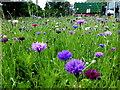 H4572 : Wildflowers, Omagh : Week 33
