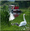 SJ9317 : Swan on the towpath of the Staffordshire and Worcestershire Canal by Mat Fascione