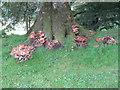 NT2347 : Giant Polypore - Meripilus giganteus by M J Richardson