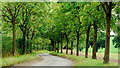 SJ7032 : Avenue of young ash trees by Jonathan Billinger