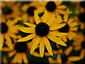 SO6023 : Rudbeckia 'Goldsturm' by Jonathan Billinger