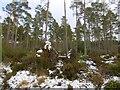 NH6058 : Culbokie Woods by Richard Webb