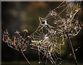 SH4465 : Cobwebs at sunrise by David P Howard