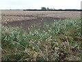 TL3977 : Potato crop near Meadlands Farm on Sutton Fen by Richard Humphrey