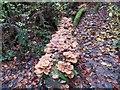 SD7011 : Fungi on a rotting log by Philip Platt