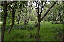 TQ5245 : Woodland, Penshurst Park by N Chadwick