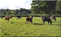 TQ3327 : Cattle grazing by N Chadwick