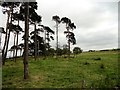 NZ0959 : Pine trees at Moss Plantation by Robert Graham