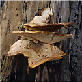 SD4980 : Bracket fungus by Ian Taylor